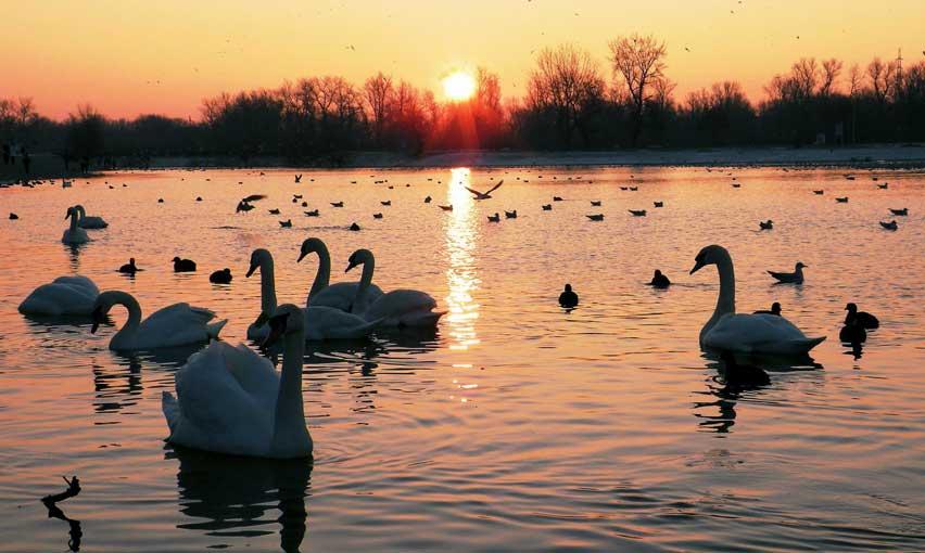 свидание у лебединого озера