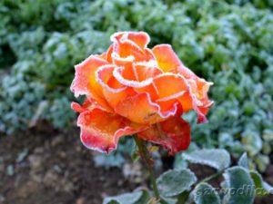 роза иней